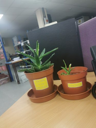 Electronic engineering and software company Like Technologies has created a greener office environment by introducing Aloe vera plantss